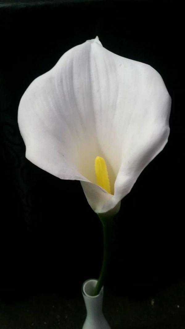 Arum Lily white